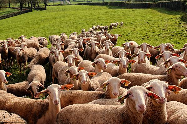 lacaune-sheep-img